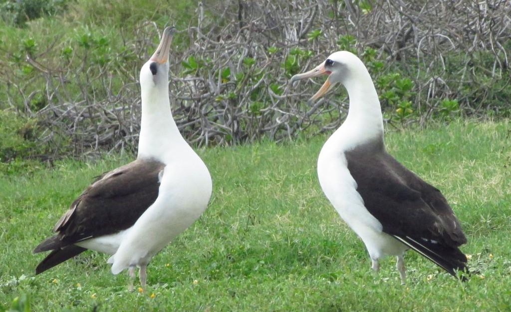 Laysan Albatross, Kaena Point, Oahu, Hawaii