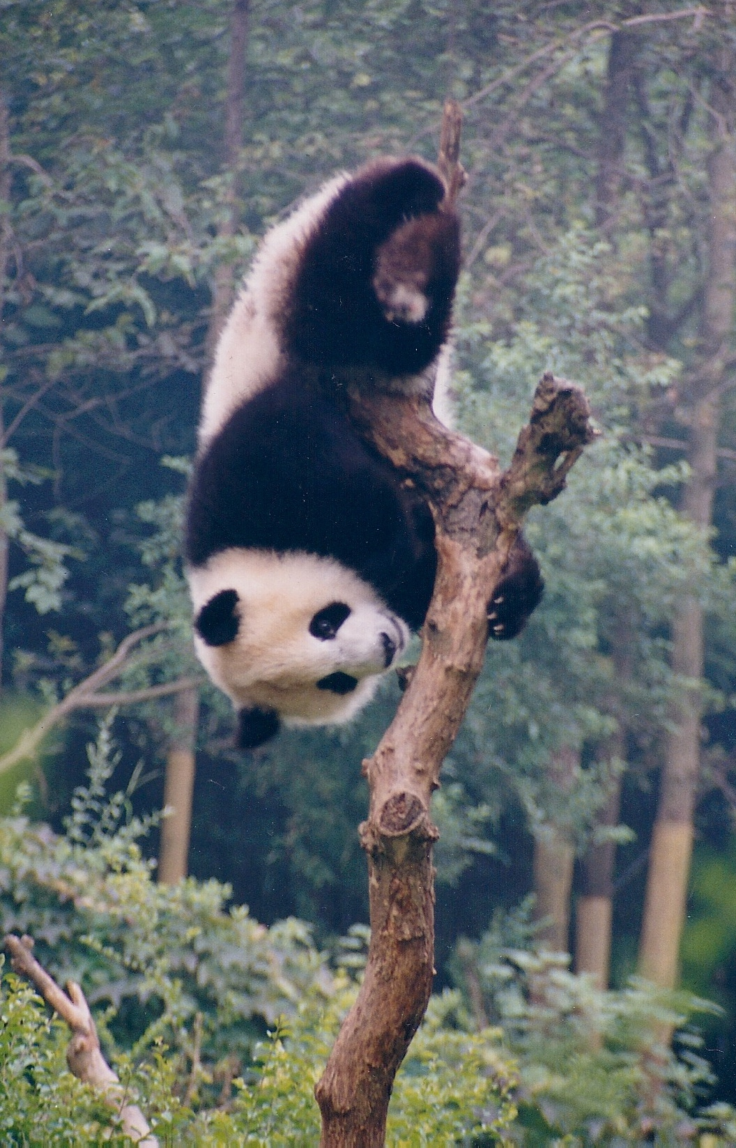 Upside down panda