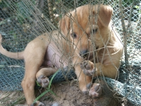 India puppy